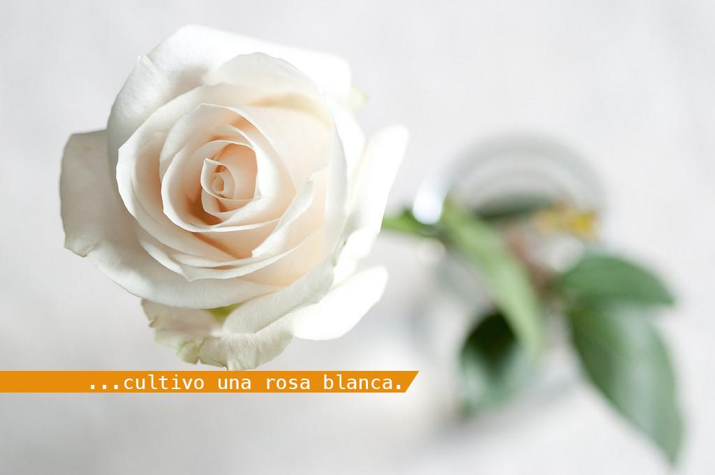 1440075796_cultivo-una-rosa-blanca-1024x680